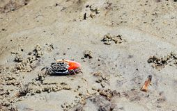 granchio di Fiddler Anello-fornito di gambe - uca Annulipes - su Sandy Beach - andamane & isole Nicobar, India fotografia stock libera da diritti
