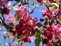 Granchio di fioritura Apple - Boise, Idaho Fotografia Stock