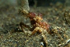 Granchio di ragno Fotografie Stock
