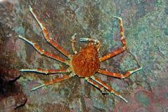 Granchio di ragno all'interno dell'acquario fotografia stock