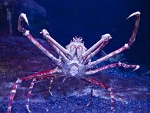 Granchio di ragno giapponese Fotografie Stock Libere da Diritti