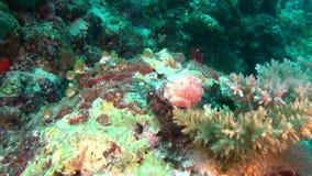 Granchio di soldato del cancro dell'eremita su fondo dei coralli subacquei in Maldive stock footage