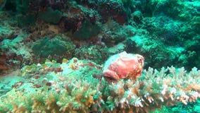 Granchio di soldato del cancro dell'eremita su fondo dei coralli subacquei in Maldive archivi video