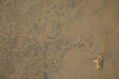 Granchio e tadpoles Fotografia Stock