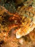 Granchio marino con la macro immagine stock