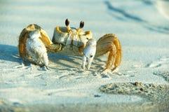 Granchio maschio del fantasma - ceratophthalma di Ocypode fotografia stock libera da diritti