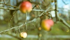 Granchio-mela fotografia stock
