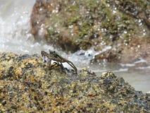 Granchio nella piccola sbobba dell'acqua di mare nella roccia fotografie stock libere da diritti