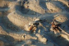 Granchio nella sabbia bagnata Fotografia Stock Libera da Diritti