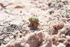 Granchio nelle coperture verde chiaro I crostacei sulla spiaggia si nascondono in una s Fotografia Stock Libera da Diritti