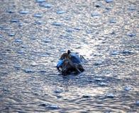 Granchio nuotatore in acqua Immagini Stock