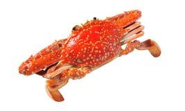 Granchio nuotatore cotto a vapore rosso fotografia stock