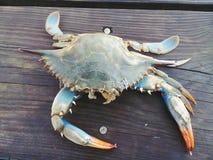 Granchio nuotatore del Chesapeake fotografie stock