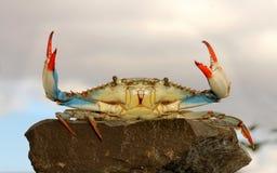 Granchio nuotatore in tensione Fotografie Stock Libere da Diritti