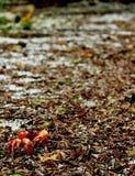 Granchio rosso Immagini Stock