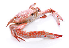 Granchio rosso isolato su fondo bianco Immagine Stock Libera da Diritti