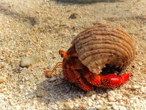 Granchio rosso luminoso in Shell sulla spiaggia Immagini Stock