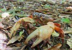 Granchio rosso tropicale Immagini Stock