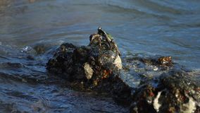 Granchio sulla roccia alla spiaggia video d archivio
