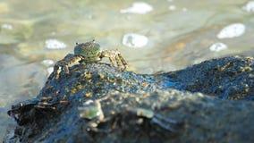 Granchio sulla roccia alla spiaggia stock footage