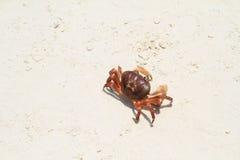 Granchio sulla spiaggia Immagine Stock