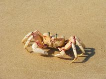 Granchio sulla spiaggia sull'isola di Bazaruto Immagini Stock