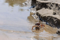 Granchio in tensione sulla sabbia della spiaggia Fotografie Stock Libere da Diritti