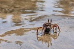 Granchio in tensione sulla sabbia della spiaggia Fotografia Stock Libera da Diritti