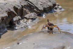 Granchio in tensione sulla sabbia della spiaggia Fotografia Stock