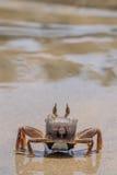 Granchio in tensione sulla sabbia della spiaggia Immagine Stock Libera da Diritti