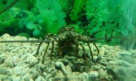 Granchio in un acquario Primo piano acquatico del granchio Libero di riserva immagini stock