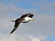 Grand à dos noir, Larus Marinus de mouette, en vol Photo libre de droits