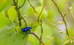 Grand-à jambes tricolore, Sagra Femorata, scarabée à jambes de grenouille bleue Photographie stock libre de droits