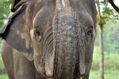 Grand éléphant Image libre de droits