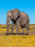 Grand éléphant africain Photographie stock