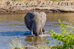 Grand éléphant africain de Taureau pataugeant à travers Mara River photographie stock libre de droits