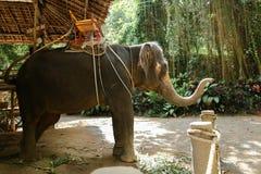 Grand éléphant apprivoisé se tenant avec la selle jaune images stock