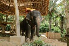 Grand éléphant apprivoisé se tenant avec la selle jaune photographie stock libre de droits