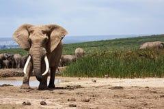 Grand éléphant Bull Images libres de droits