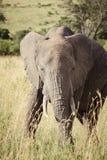 Grand éléphant de taureau Photographie stock