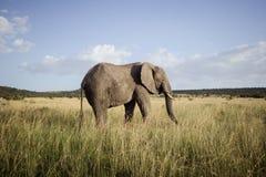 Grand éléphant de taureau 2 Photos libres de droits