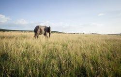 Grand éléphant de taureau 3 Photo stock