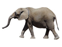 Grand éléphant gris Image libre de droits