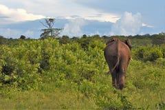 Grand éléphant marchant loin images stock