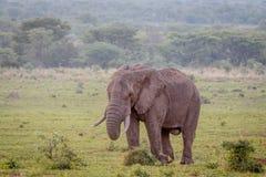 Grand éléphant masculin marchant dans l'herbe photographie stock