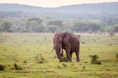 Grand éléphant masculin marchant dans l'herbe image stock