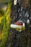 Grand élevage fongueux du côté d'un vieil arbre Photographie stock libre de droits