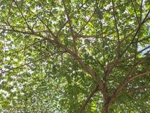 Grand élevage vert d'arbre Images libres de droits