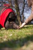 Grand/énorme porc mignon sur la longue promenade parc/à garde botanique Photo libre de droits
