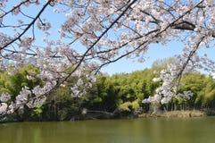 Grand étang en session de fleurs de cerisier Photographie stock libre de droits